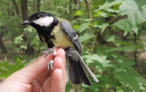 Bird ringing, Czech Republic