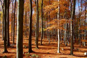 Large beech forest, Czech Republic